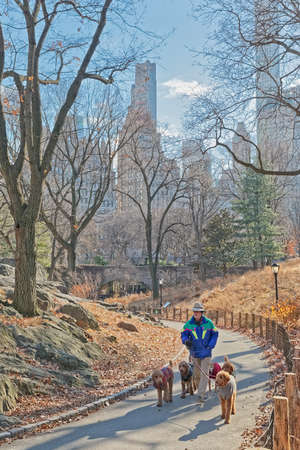 New York Central Park a dog walker in winter time