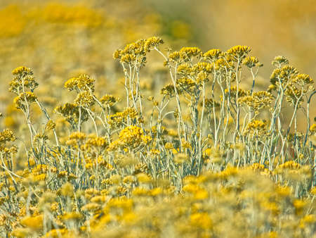 Immortelle field near Oklaj in Croatia