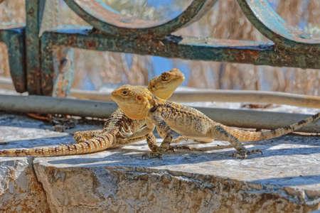Stellagama lizards at the old wall in Corfu Greece