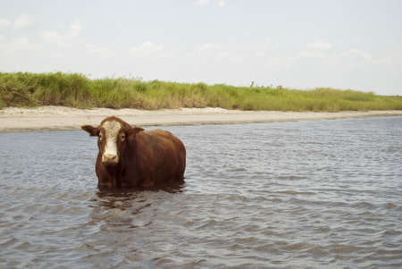 Free Range Bull out on the Water
