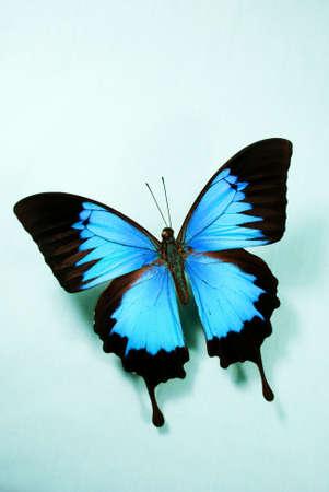 Vibrant Ulysses butterfly against teal, blue background. Standard-Bild
