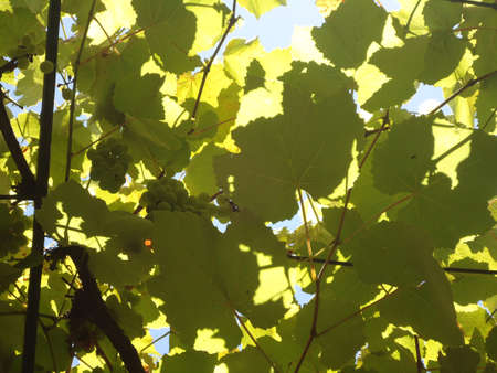 hojas: Texture vine leaves with grapes and sky background
