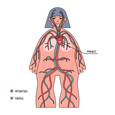 Human body infographic. Circulatory system, heart and blood vessels Illustration