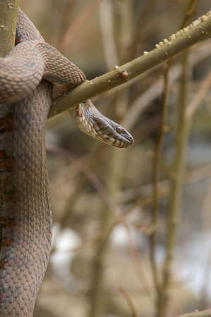 deceptive: Water snake coiled around tree branch Stock Photo