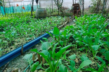 Healthy organic vegetable plot in the end garden of the village