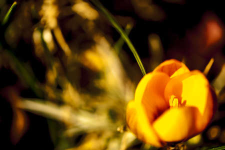 crocus: yellow crocus