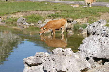 Cow drinks water at covadonga lakes, spain 版權商用圖片