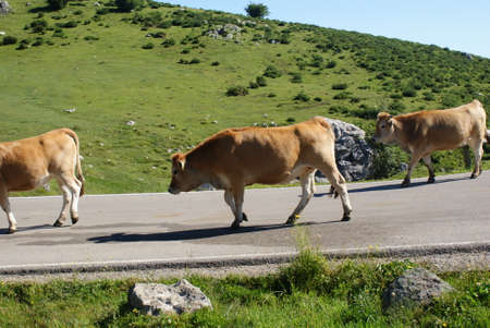 Cow / s at Lakes in Peaks of Europe, Covadonga Lakes, Spain 版權商用圖片