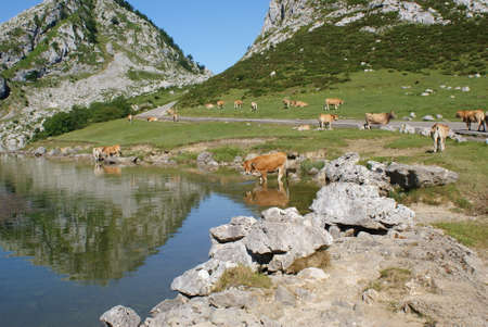 Cow / s at Peaks of Europe, Covadonga Lakes, Spain