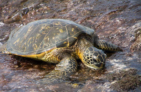 Sea Turtle looking for food at the seashore. Stock Photo - 8646829