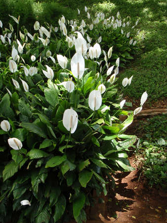 Long row of White  Anthuriums photo