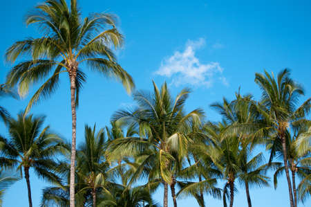 Tropical blue sky backs the tops of these palm trees. Stock Photo - 8896162