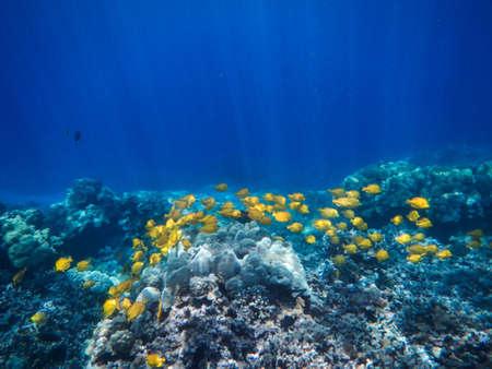 Yellow Tangs swimming the reefs off the Kona coast, Big Island of Hawaii Stock Photo - 18570860