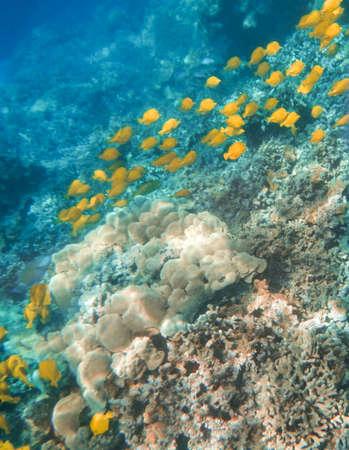yellow tang: Yellow Tangs swimming the reefs off the Kona coast, Big Island of Hawaii