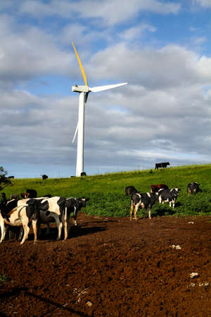 Renewable, clean energy being generated by a wind turbine in field of cows  photo