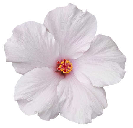 Delicate, white hibiscus flower found on the Big Island of Hawaii  Isolated on white makes for easy clipping path  Zdjęcie Seryjne