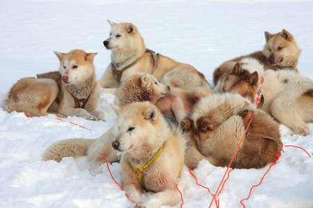 dog sled: Greenlandic sled dogs relaxing, still attached to harnesses