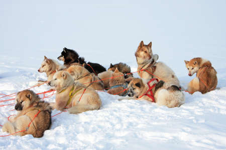 Greenlandic sled dogs relaxing, still attached to harnesses photo