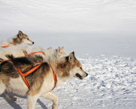 greenlandic: Greenlandic sled dogs attached to their harness Stock Photo