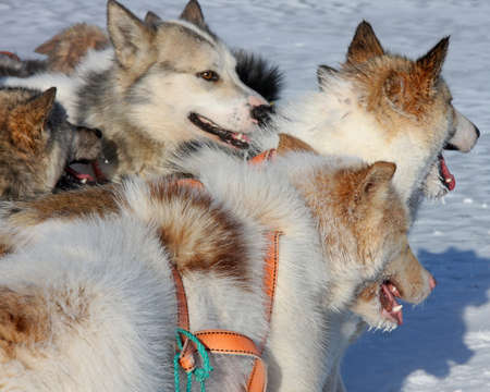 greenlandic: Three Greenlandic sled dogs attached to harness Stock Photo