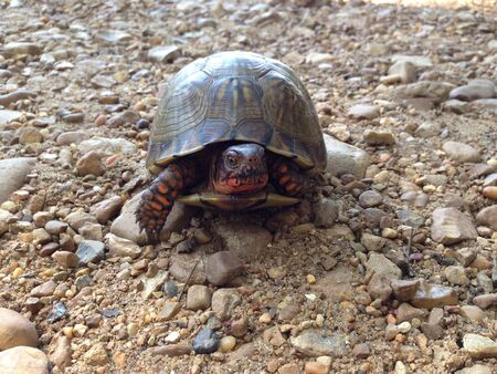Box Turtle on a gravel road.