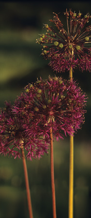 allium: Burgundy Allium Flower at Sunset Stock Photo