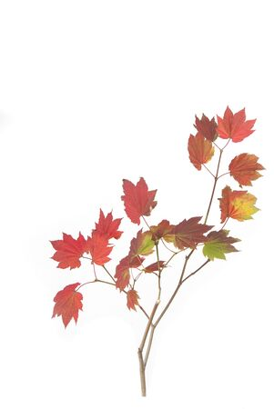 Vine Maple Branch with Fall Leaves