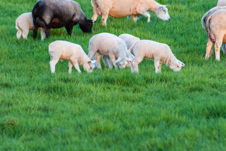 sheep with lambs on a field Standard-Bild