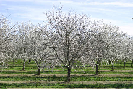 Prunus dulcis, flowering nonpareil almond trees Stock Photo
