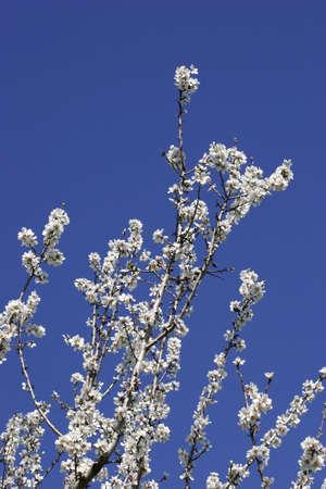 Prunus dulcis, flowering nonpareil almond tree branches photo