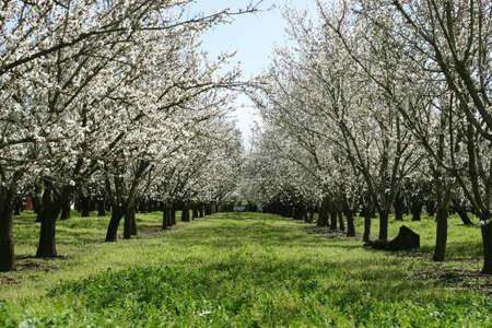 Prunus dulcis, amandier floraison Nonpareil branches Banque d'images - 3347976