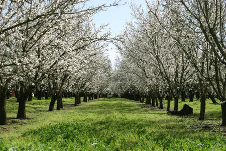 almonds: Prunus dulcis, flowering nonpareil almond tree branches