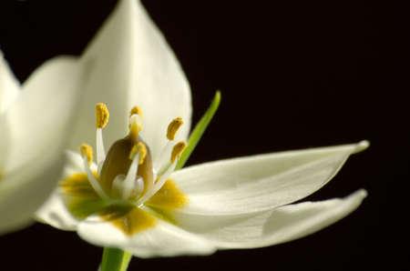 stami: Petali bianchi e stami gialli Archivio Fotografico