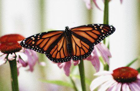 Butterfly wing span