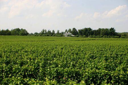 Vineyard in Quebec
