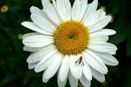 Fly on my daisy Stock Photo