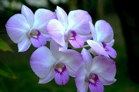 Five purple orchids Stock Photo