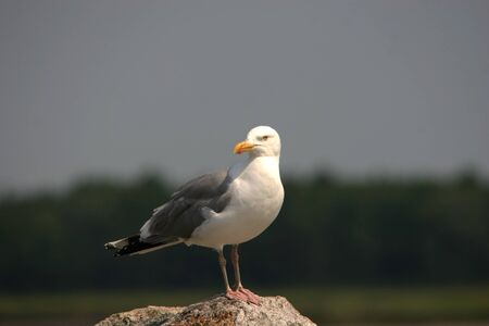 Perched seagull