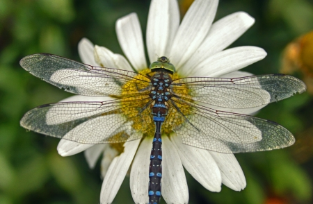 Dragonfly on daisie Stock Photo