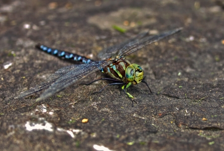 daisie: Dragonfly on rock