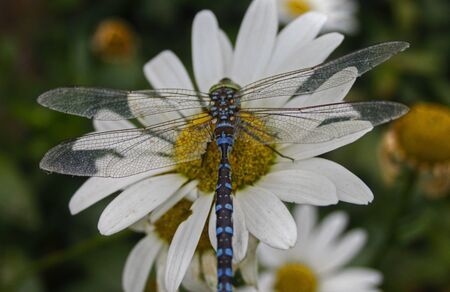 Dragonfly on daisie 86