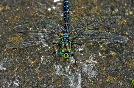 daisie: Dragonfly on rock 10