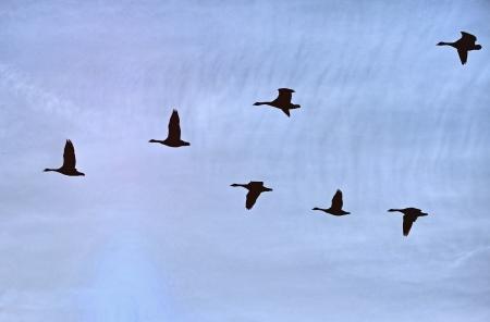 Geese flight 53