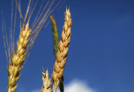 Blue Sky Wheat 61