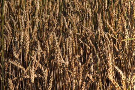 Wheat field 76