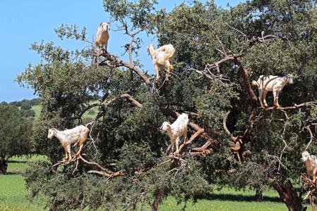 Goats grazing in an argan tree in Morocco 写真素材