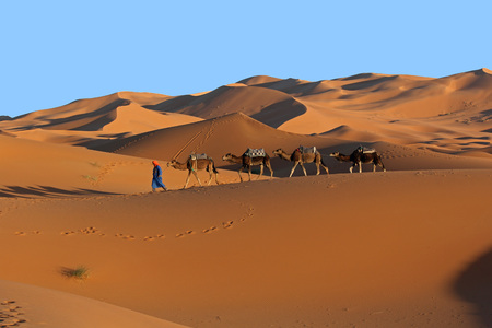 Camel caravan trekking in the Sahara desert at sunset
