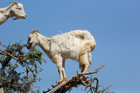 Goats grazing in an argan tree in Morocco creating a strange view 写真素材