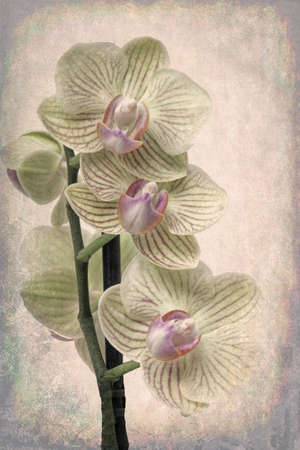 Soft yellow orchids with dramatic antique look