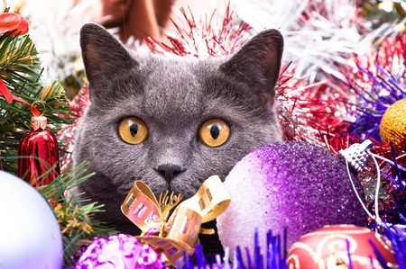 The British cat lies in a tinsel with Christmas toys Stock Photo - 7783149
